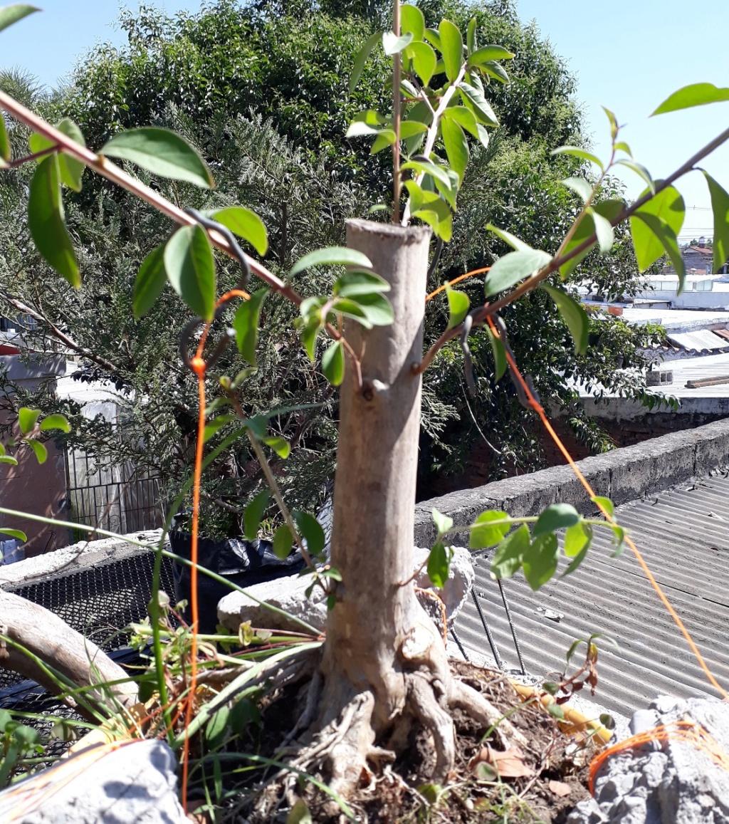Los pre-bonsai 64cres10