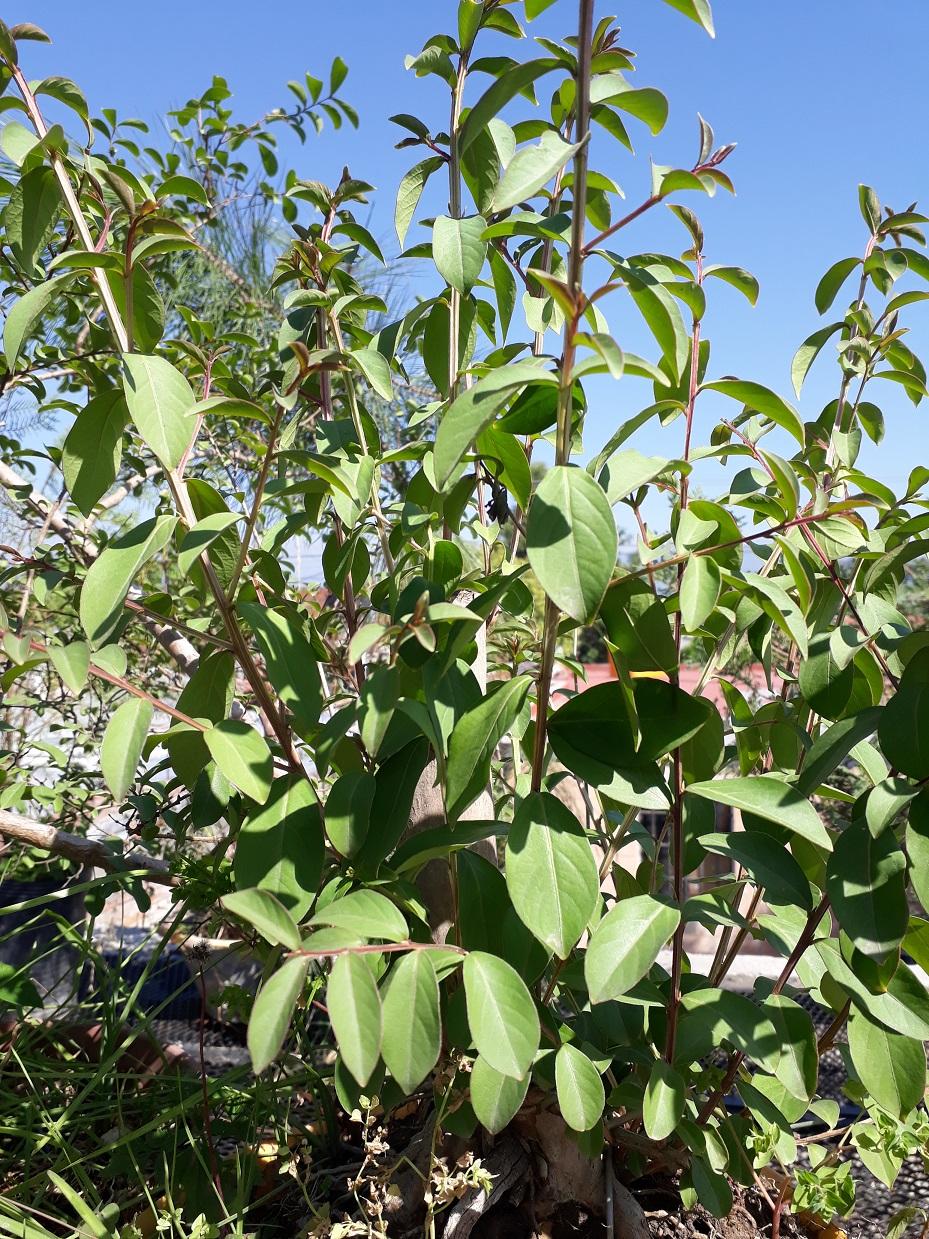 Los pre-bonsai 65-cre10