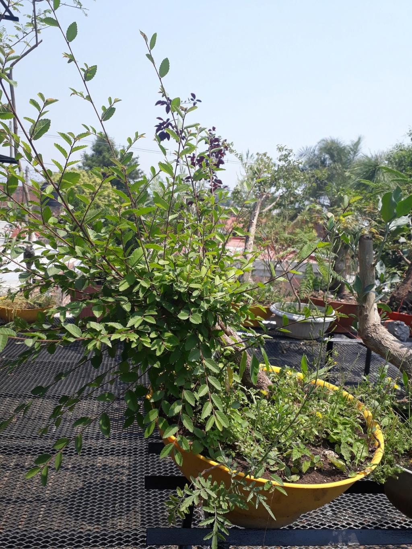 Los pre-bonsai 72-ent10