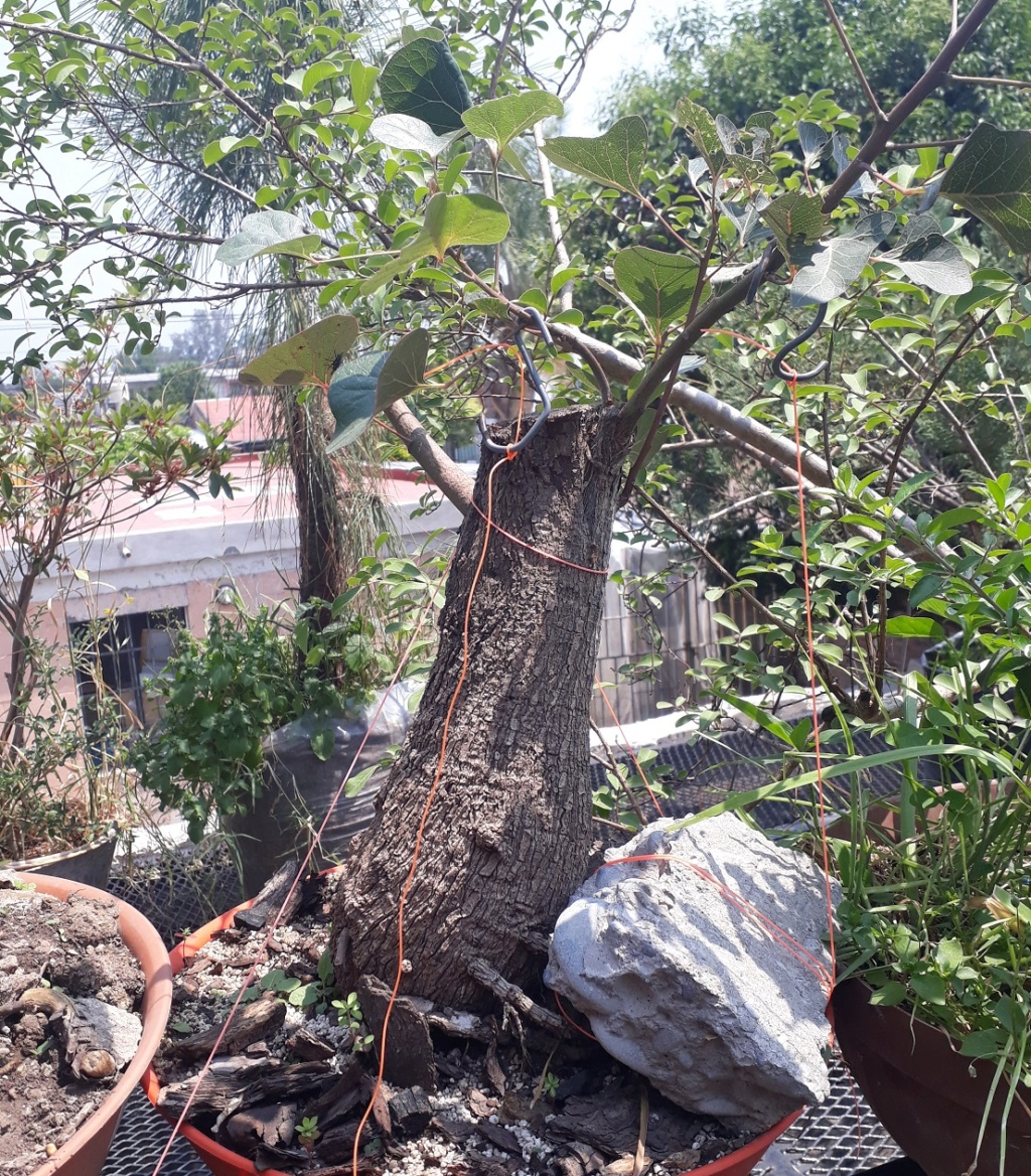 Los pre-bonsai 75-ent10
