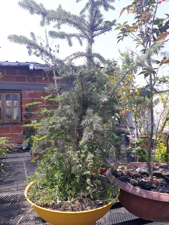 Los pre-bonsai 76-ent10