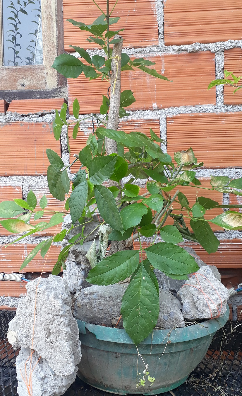 Los pre-bonsai 77-ent10