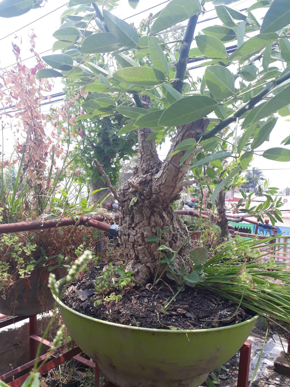 Los pre-bonsai 78-ent10