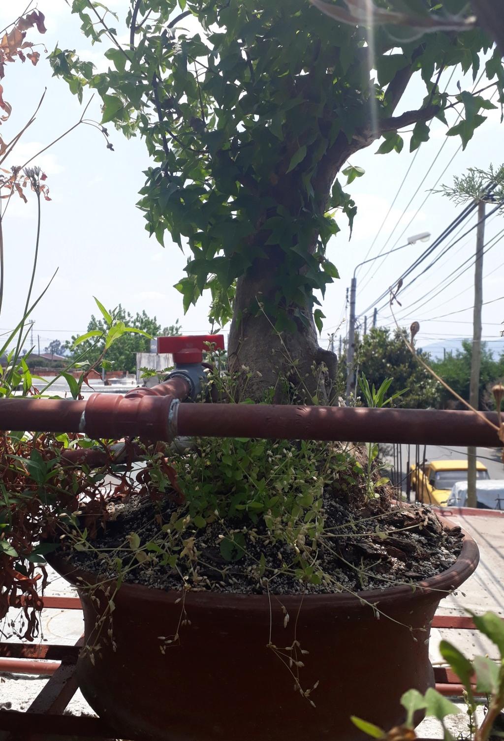 Los pre-bonsai 81-ent10