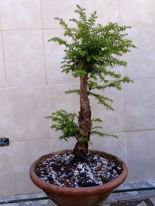Los pre-bonsai Arau0110