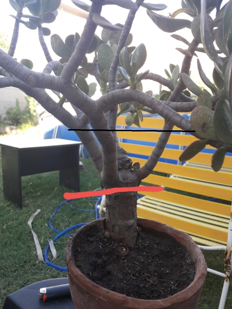 Árbol de jade (crassula ovata) Arbol_10