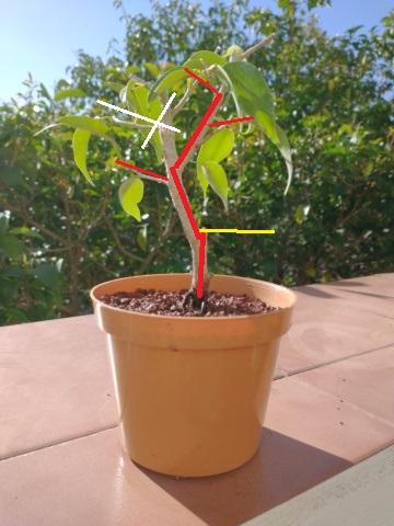 Cultivando y Diseñando Ficus Natasja Ficus_16