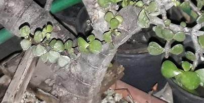 Portulacaria Afra y hojas grandes Hojas10