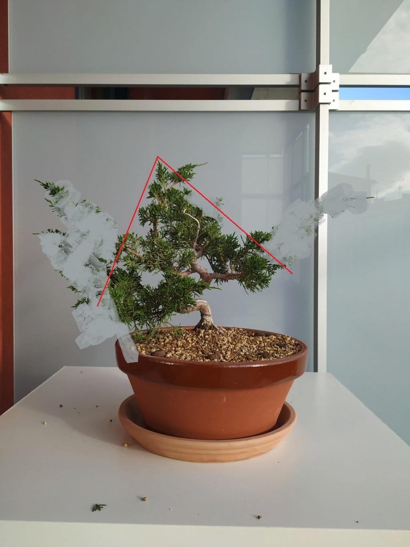 Poda junipero chino Junipe12