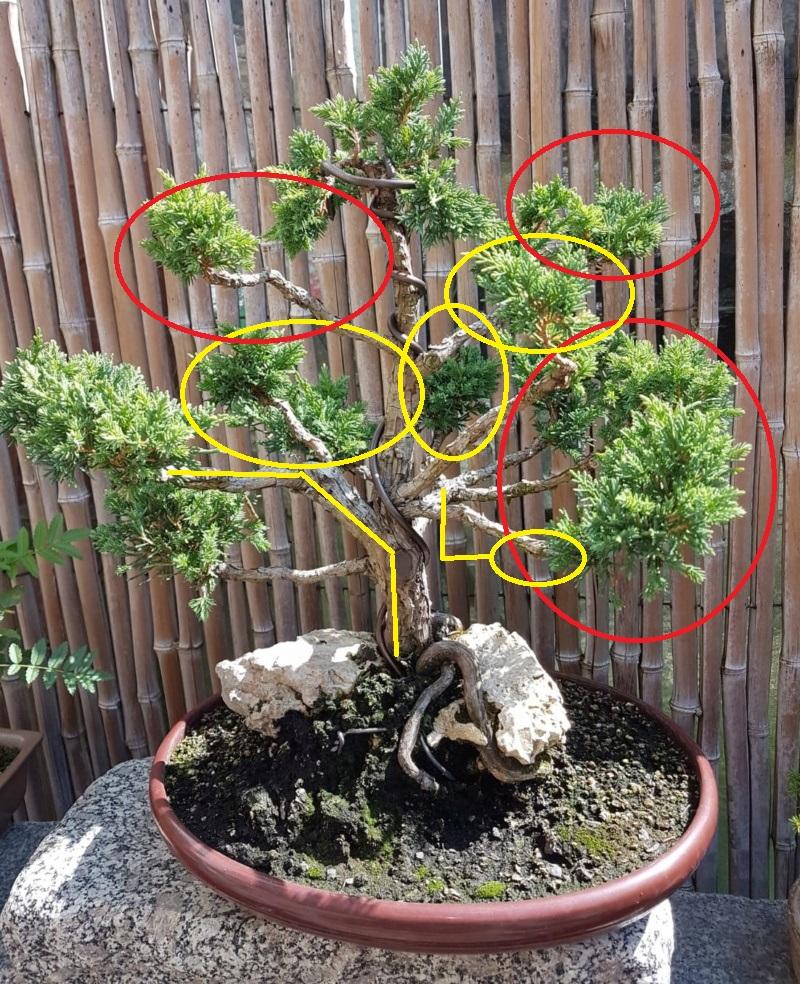 Remodelación Juniperus Chinensis sobre Piedra  Junipe13