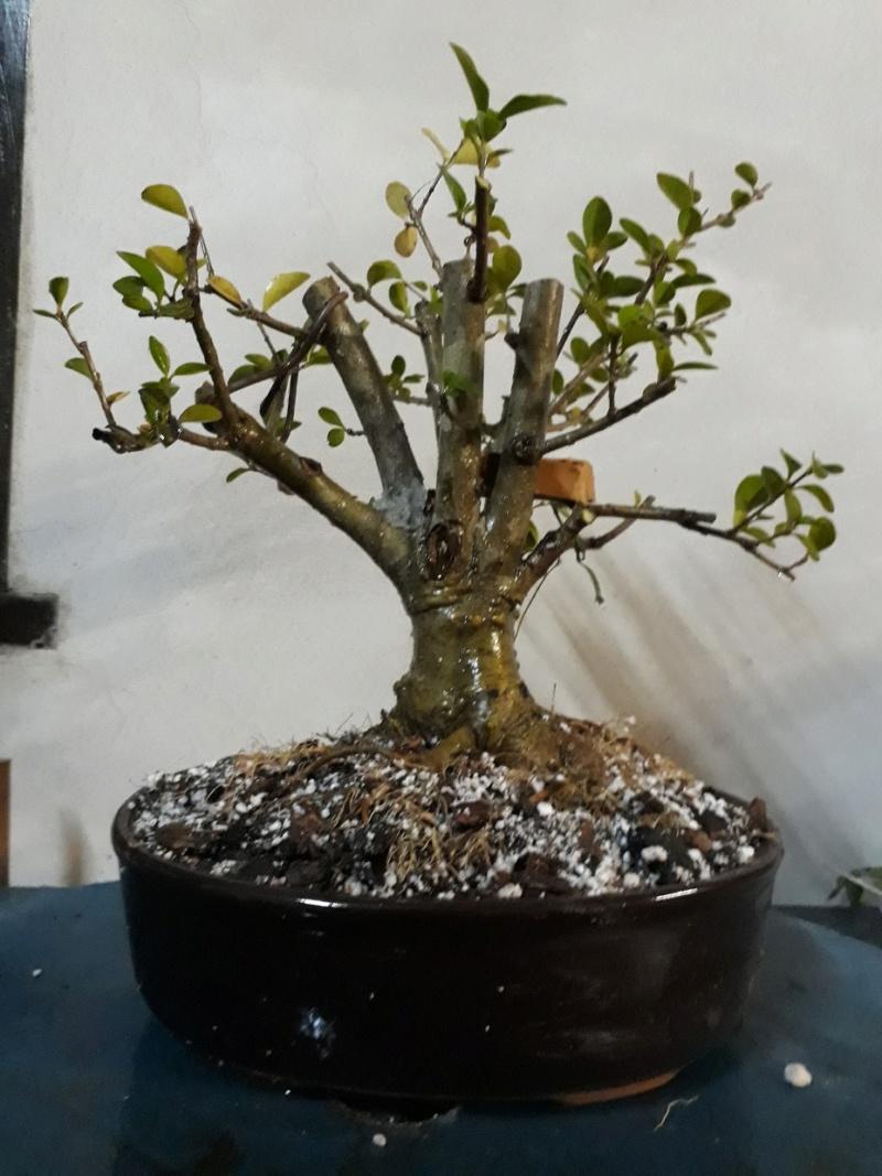 Poda formacion y transplante ligustro Ligust16