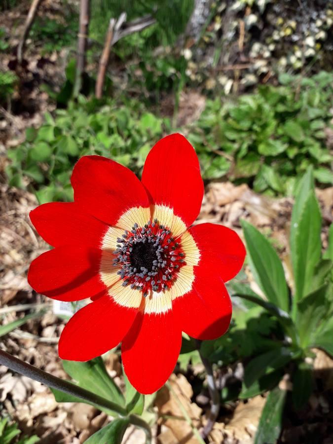Anemone hortensis subsp. pavonina 15542610