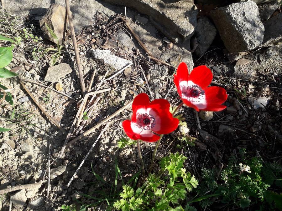 Anemone hortensis subsp. pavonina 15542612