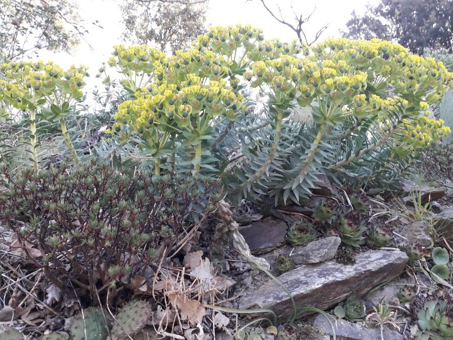 Euphorbia rigida - euphorbe rigide - Page 4 15542718