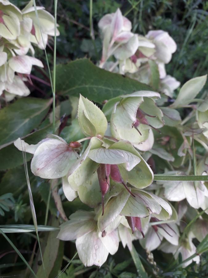 Helleborus - Helleborus argutifolius - hellébore de Corse 15569510