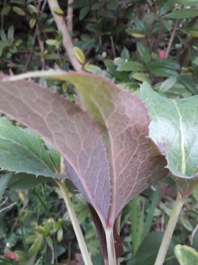 Helleborus - Helleborus argutifolius - hellébore de Corse 15569511