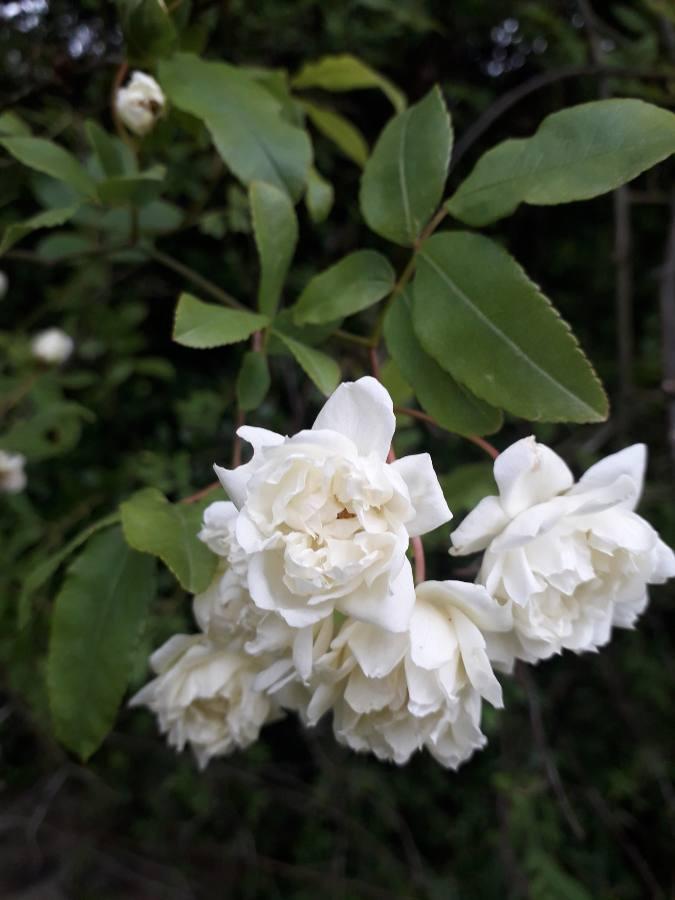Rosa banksiae 'Albo Plena' 15569518