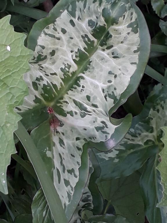 Arum italicum 20190144