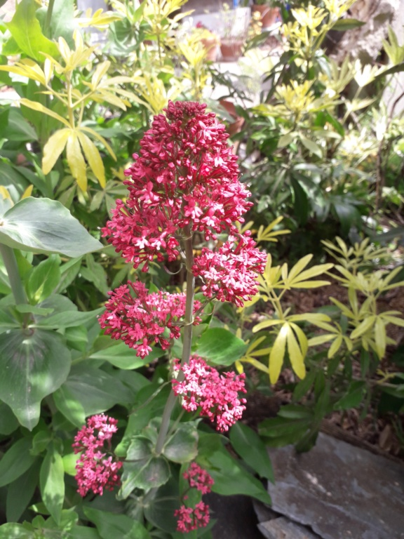 Centranthus ruber - valériane / centranthe rouge 20190194