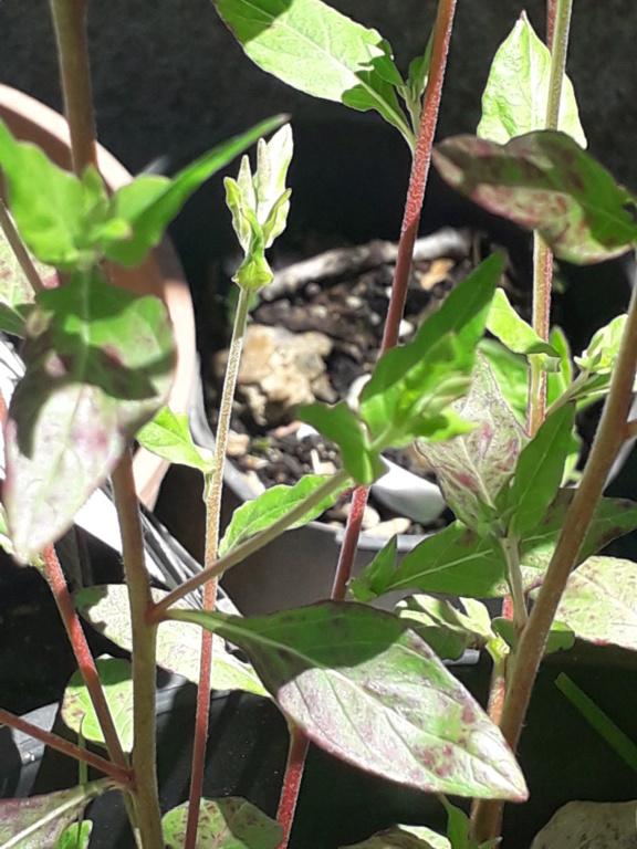 Oenothera rosea 20190299
