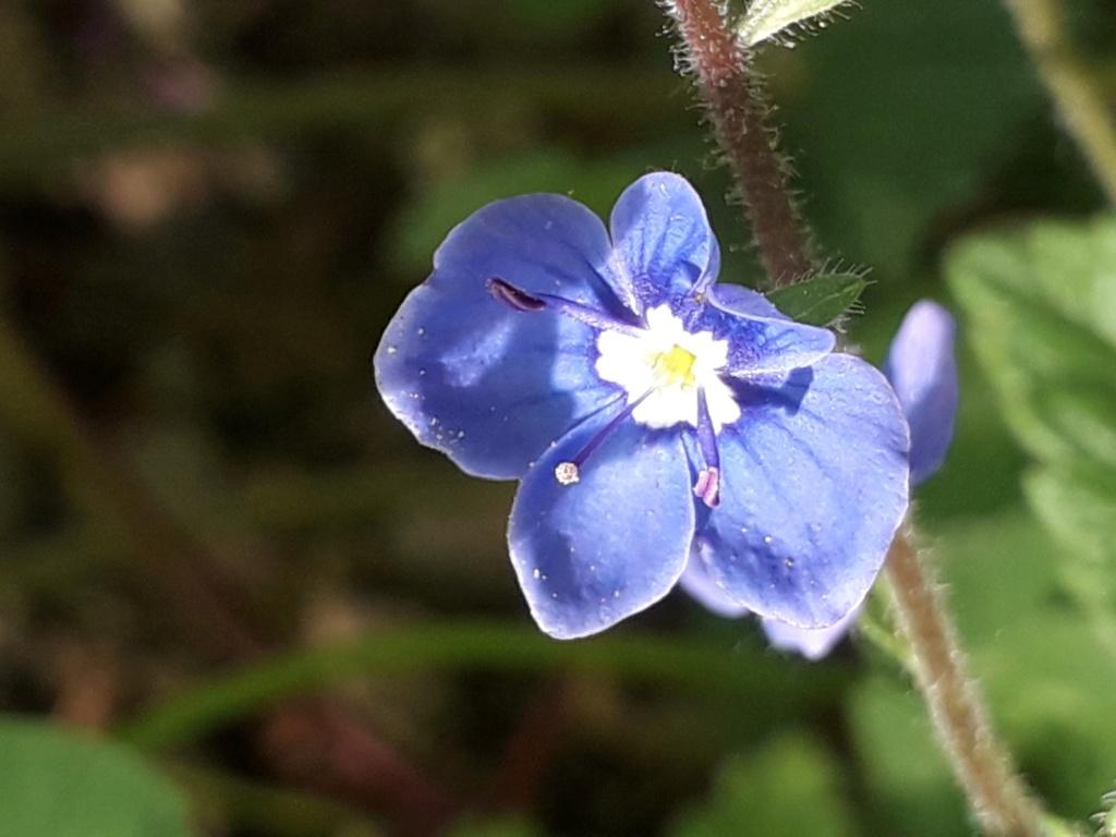 Veronica chamaedrys var. chamaedrys - véronique petit-chêne 20190325