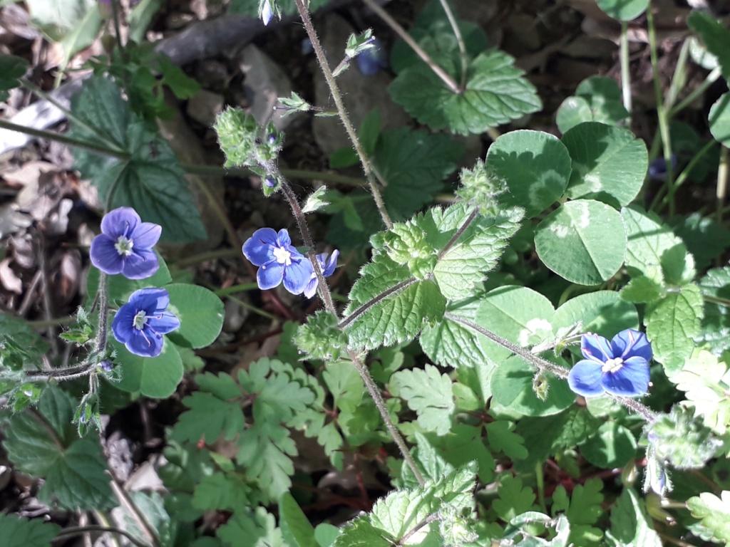 Veronica chamaedrys var. chamaedrys - véronique petit-chêne 20190326