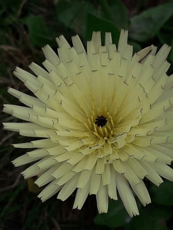 Urospermum dalechampii - urosperme de Daléchamps 20190402