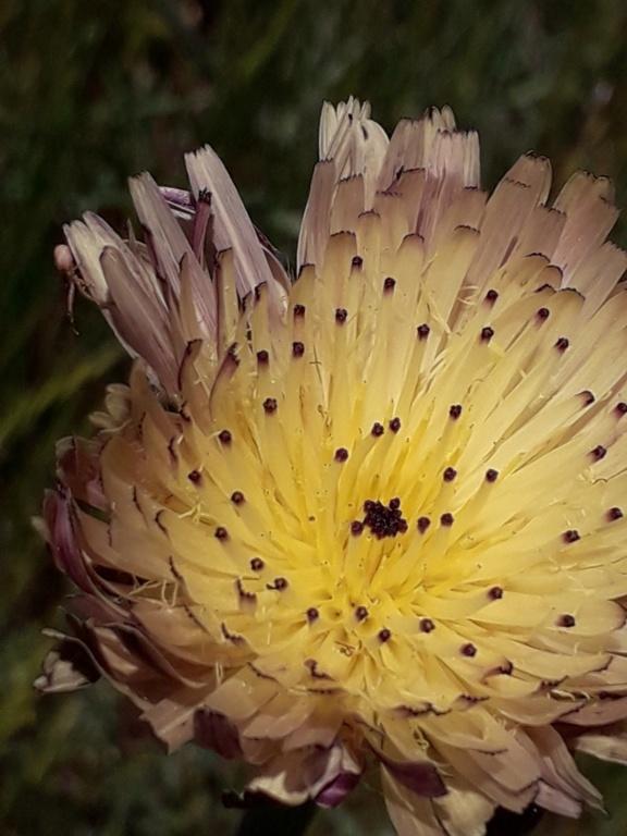 Urospermum dalechampii - urosperme de Daléchamps 20190404