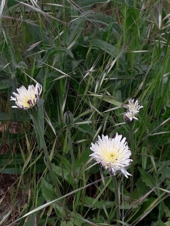 Urospermum dalechampii - urosperme de Daléchamps 20190406