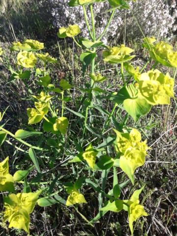 Euphorbia segetalis subsp. segetalis 20190410