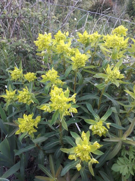 Euphorbia hyberna (?) [identification à suivre] 20190434