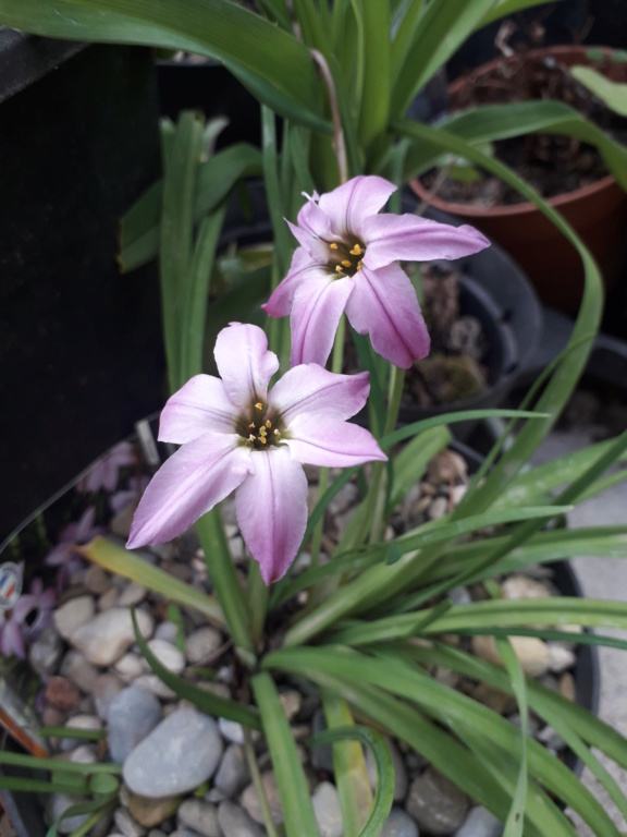 Ipheion uniflorum (= Tristagma uniflorum) - Page 2 20190454