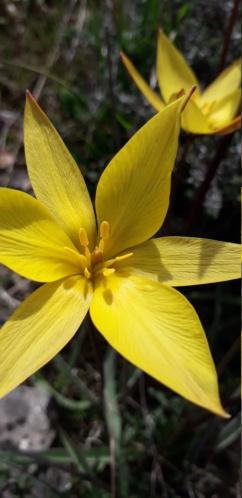 Tulipa sylvestris - tulipe sylvestre  - Page 2 20190460