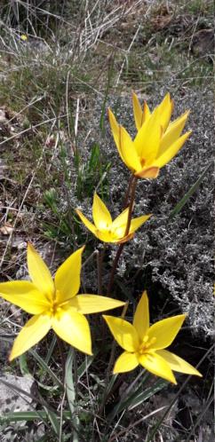 Tulipa sylvestris - tulipe sylvestre  - Page 2 20190461