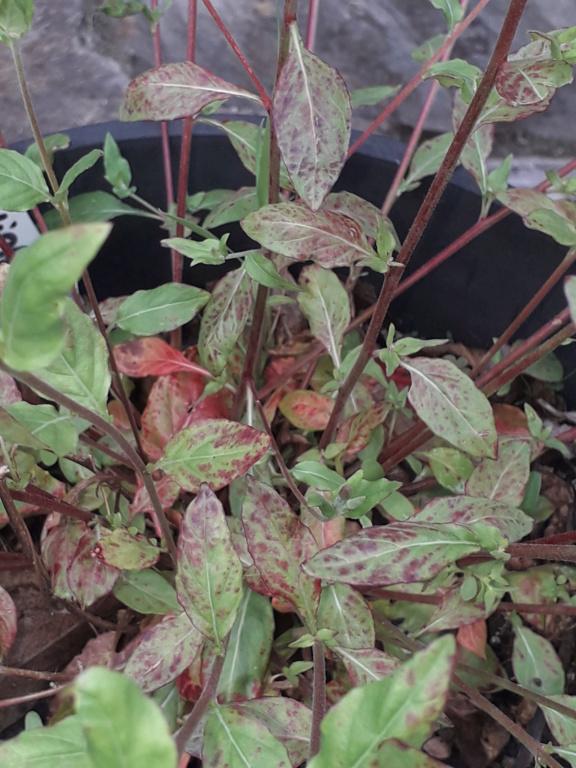 Oenothera rosea 20190490