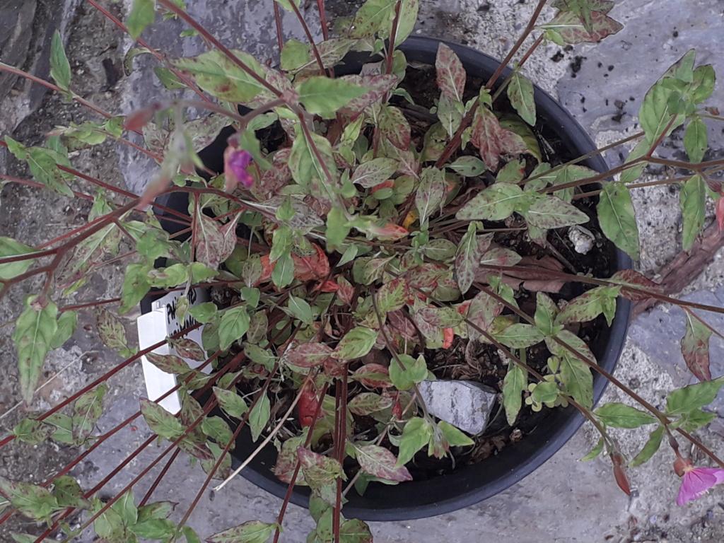 Oenothera rosea 20190491
