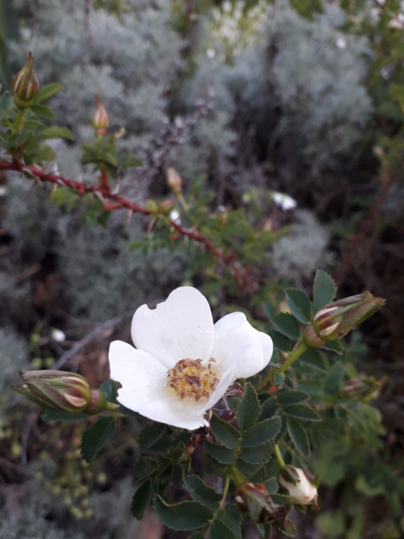 Rosa pimpinellifolia 20190526