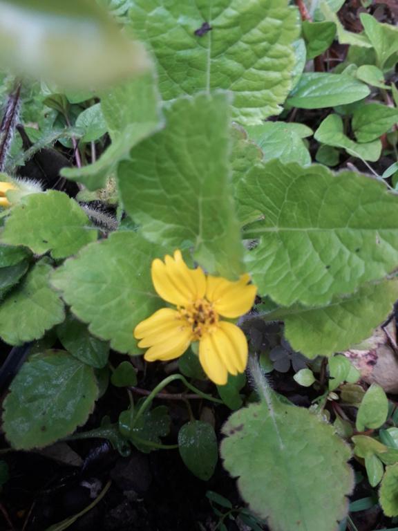 Chrysogonum virginianum 20190545
