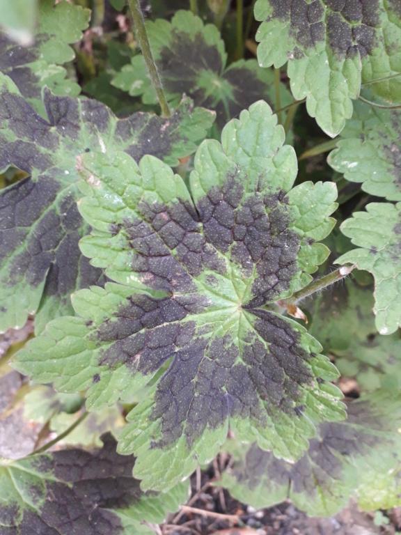 Geranium phaeum et cultivars 20190560