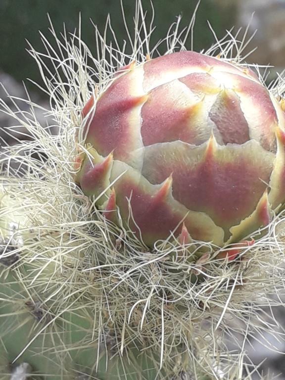 Cactus - floraisons 2019 - Page 2 20190712
