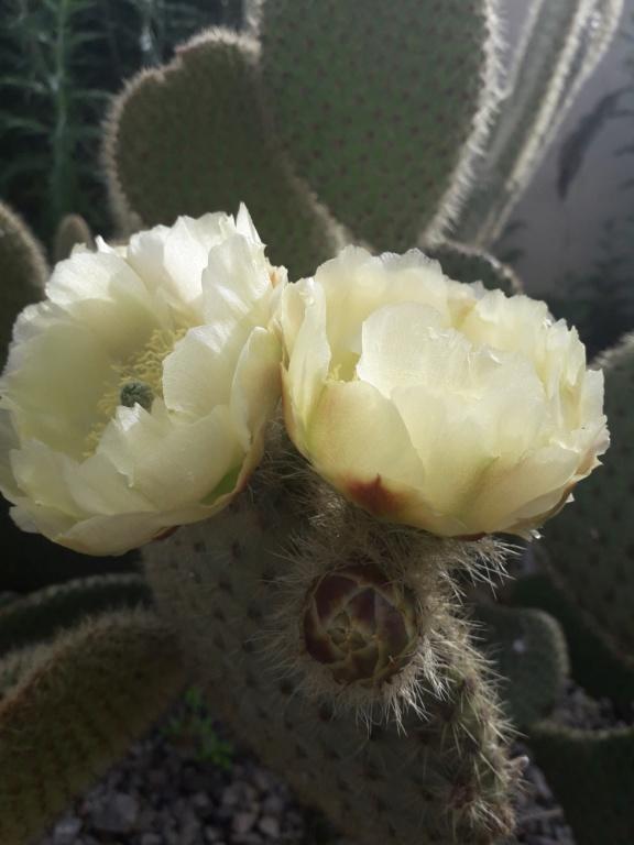 Cactus - floraisons 2019 - Page 2 20190713