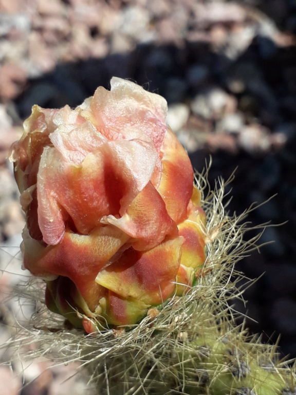 Cactus - floraisons 2019 - Page 2 20190727