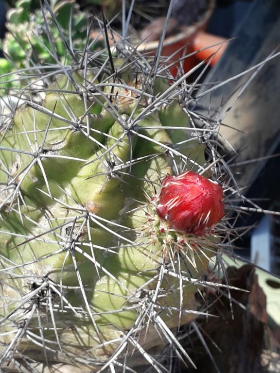 Cactus - floraisons 2019 - Page 2 20190804