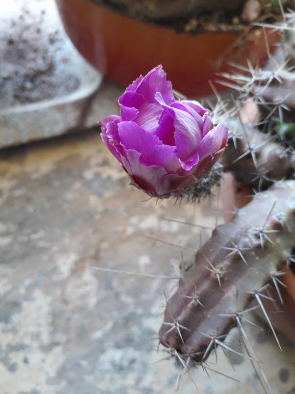 Cactus - floraisons 2019 - Page 2 20190806