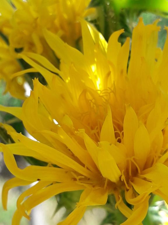 Scolymus grandiflorus [identification] 20190851