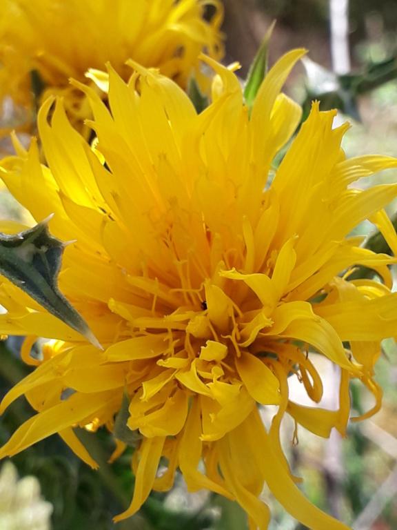 Scolymus grandiflorus [identification] 20190853