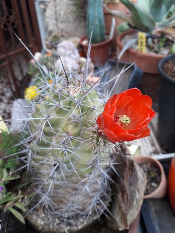 Cactus - floraisons 2019 - Page 2 20190857