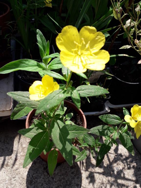 Oenothera  sp. [identification à suivre] 20190860