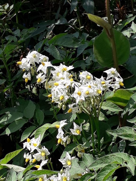 Solanum jamesii 20190872
