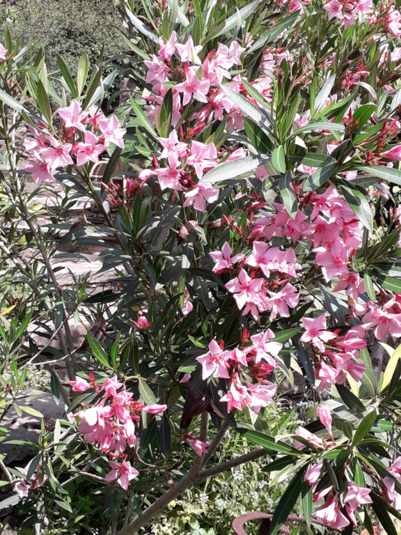 Nerium oleander - laurier rose - Page 5 20190879